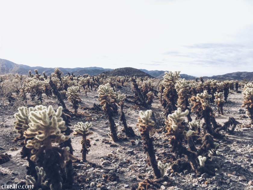 Cholla Cactus Garden: home of the jumping cactus spines